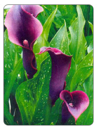 болотная лилия фото
