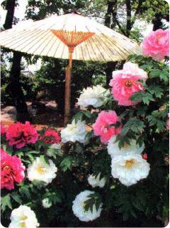 Чтобы продлить цветение, пионы притеняют зонтами